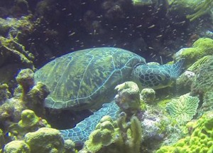 Turtle in Bonaire