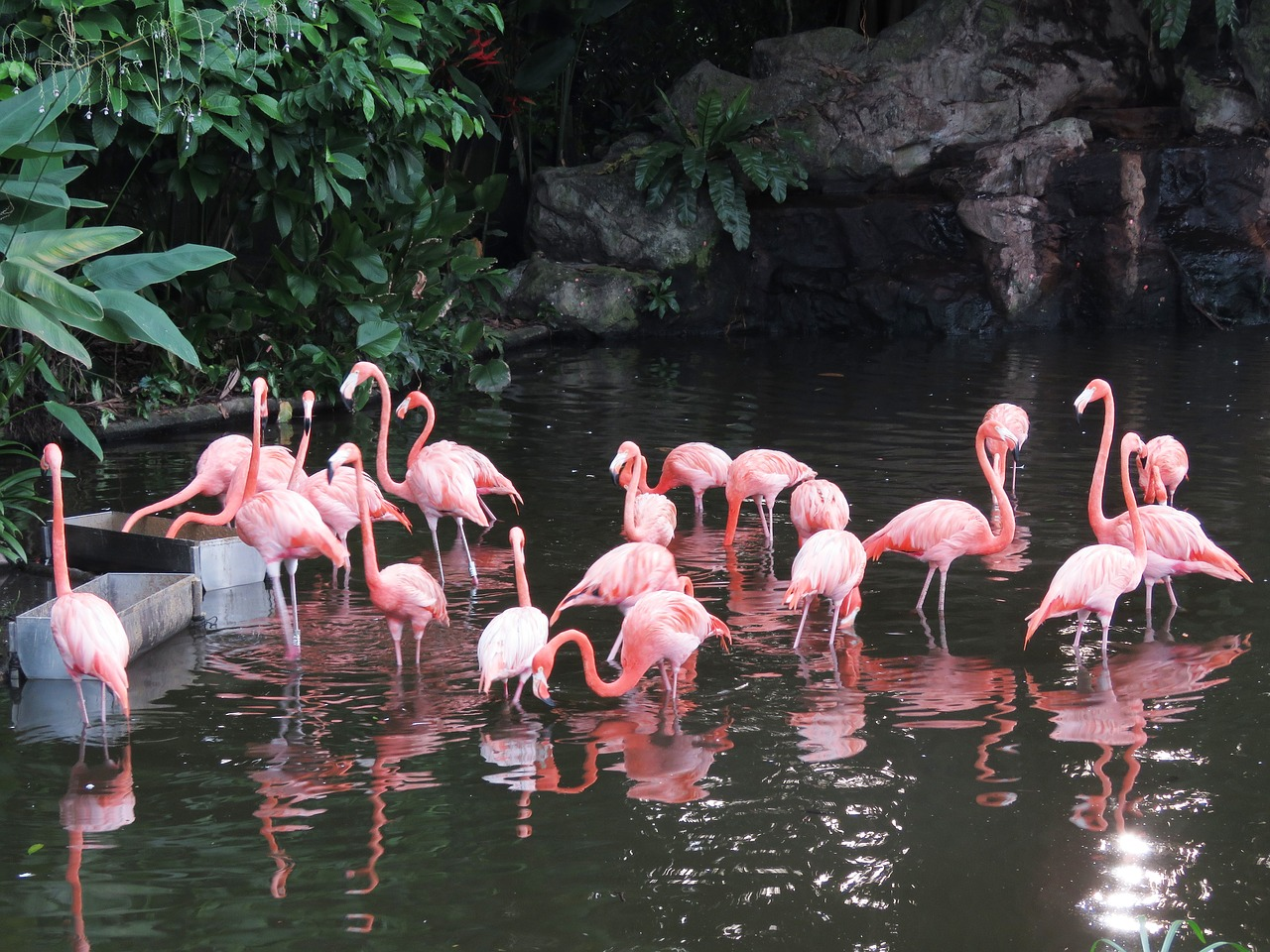 The Beautiful Caribbean Flamingo