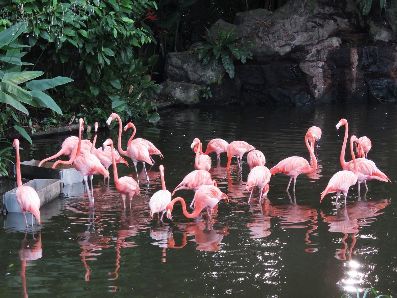 The Beautiful Caribbean Flamingo