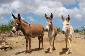 The Donkey Sanctuary on Bonaire