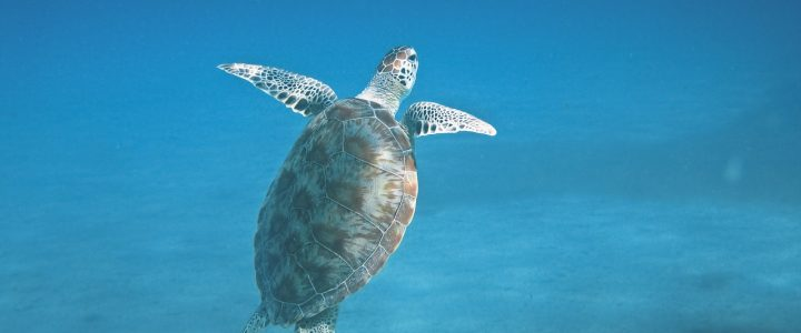 Bonaire Sea Turtles – It's Nesting Season